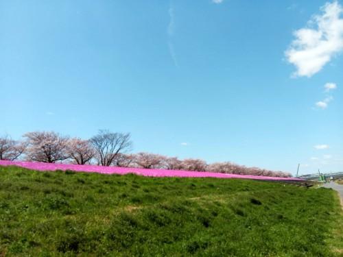 荒川CRからの桜