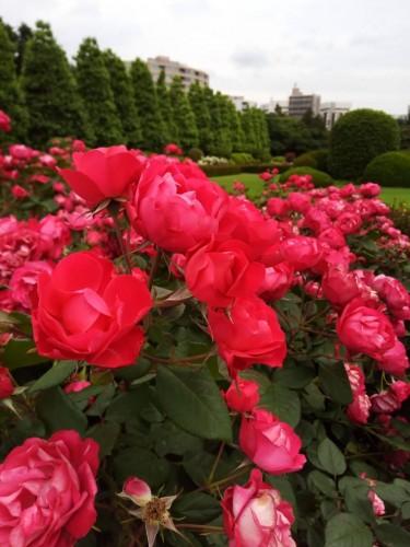 新宿御苑バラ
